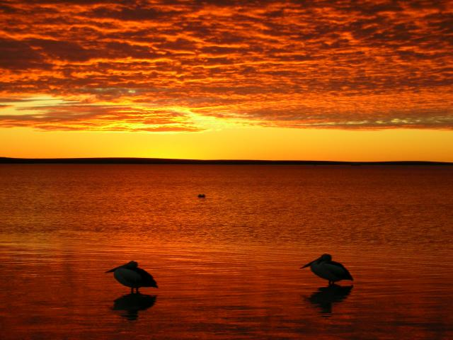 Australian Pelicans at sunset