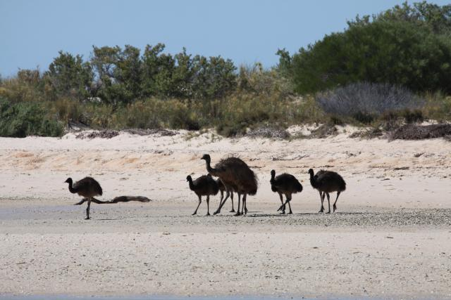 Emus on beach