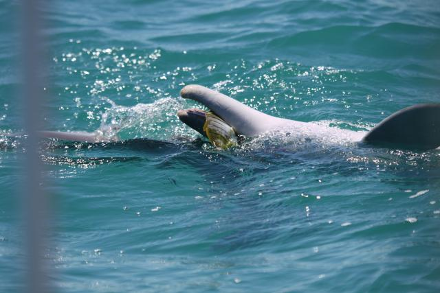 Dolphin with young golden trevally