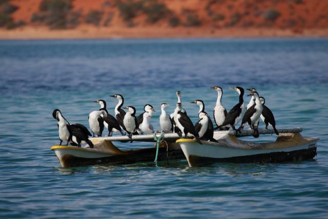 Australian Pied Cormorant raft